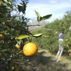Cómo ayudar a un árbol de naranjas a que produzca naranjas dulces