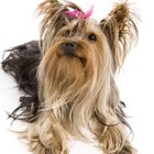 How to Know if Your Yorkie Has a Silk Coat or Soft Coat
