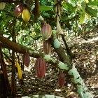¿Qué países cultivan granos de cacao?