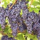 Cómo podar y fertilizar las uvas moscatel para producir una buena cosecha