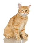Marbled Orange and White Color in Cats