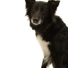 Hearing Loss of a Border Collie