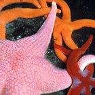 Como uma estrela do mar se regenera?