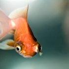As espécies de peixes e mariscos de águas frias