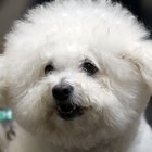 How to Comb a Bichon Frise