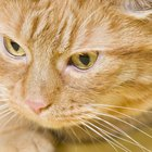 Urinary Disease in Cats