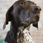 Differences Between German Shorthairs & English Pointers