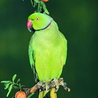 What Is the Difference Between African Ringneck and Indian Ringneck Parrots?