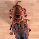 Shar Pei With a Skin Disorder