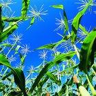 Cómo hacer aceite de maíz