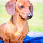 Dachshund Hair Loss