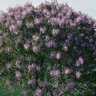 How Fast Does Persian Lilac Grow?