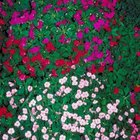 Pink, white and red-flowering impatiens coordinate nicely with pink hydrangea flowers.