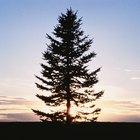 Consejos para la poda del árbol de pino
