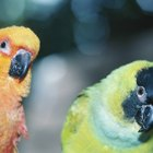 Differences in Male & Female Rosy Bourke Parakeets