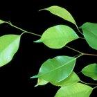 Las hojas de mi ficus benjamina se curvan y caen