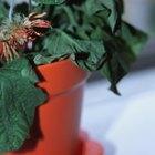 Cómo saber la diferencia entre el exceso de riego y regar poco una planta