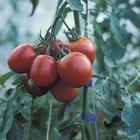 Inseticidas caseiros para pés de tomate e pimentão