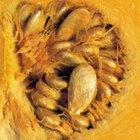 Cómo conservar semillas de calabaza