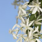 How to protect clematis from frost