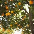 List of the varieties of oranges
