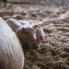 Como determinar a idade de gestação de uma porca