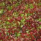 Qué tan separado plantar arbustos fotinia de punta roja