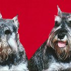 A Miniature Schnauzer's Eye Disorders