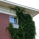 ¿Qué clase de daño causa la hiedra al exterior de una casa?