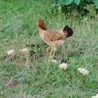 Como saber quando uma galinha está pronta para botar ovos