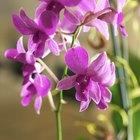 Por qué las raíces de mis orquídeas crecen por fuera de la maceta