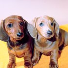 Miniature Dachshund Physical Description