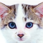 Signs & Symptoms of the Heartworm Antibody in Cats