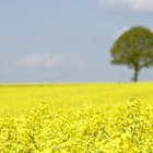 How to grow rapeseed