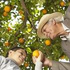 Como podar laranjeiras