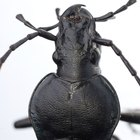 How to get rid of black ground beetles