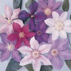 Clematis are available in an array of colors.
