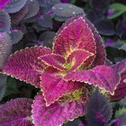 Lista de plantas com folhas roxas e verdes