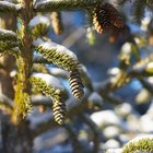 Can pine cones be burned in wood stoves?