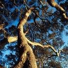 How to Age a Live Oak Tree