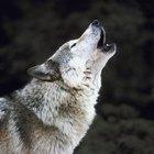 ¿Cuál es el lobo más grande del mundo?