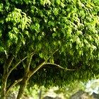 Cómo plantar y cuidar un árbol de higos negros
