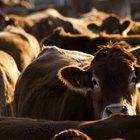 Cómo diseñar establos para ganado