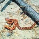 Cómo saber si las serpientes del maíz son machos o hembras