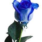 ¿Cuál es el significado de una rosa azul rodeada de once rosas amarillas?