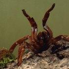 Que espécies de aranhas são pretas e vermelhas?