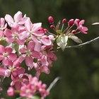 ¿Qué causa que las hojas de un árbol de cerezo se vuelvan marrones y se enrollen?