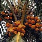 Cómo saber cuándo un coco está maduro