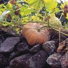 Diferenças entre flor macho e fêmea de abóboras