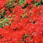 ¿Qué tipo de azaleas florecen varias veces al año?